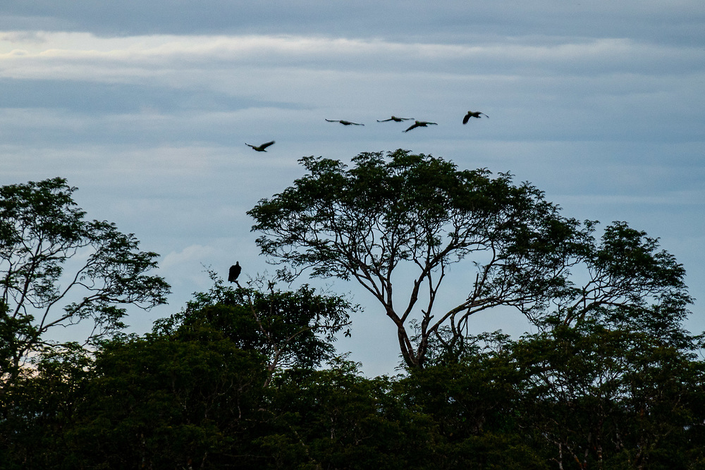 A vulture and other birds are seen in the tree canopy at the Museum of the Amazonas April 3, 2021. Created in January 2009, Museum of the Amazonas sits on roughly 247 acres at the Adolpho Ducke Forest Reserve, belonging to the Instituto Nacional de Pesquisas da Amazônia [National Institute for Amazonia Research] – INPA, in Manaus, Brazil. Photo Ken Cedeno