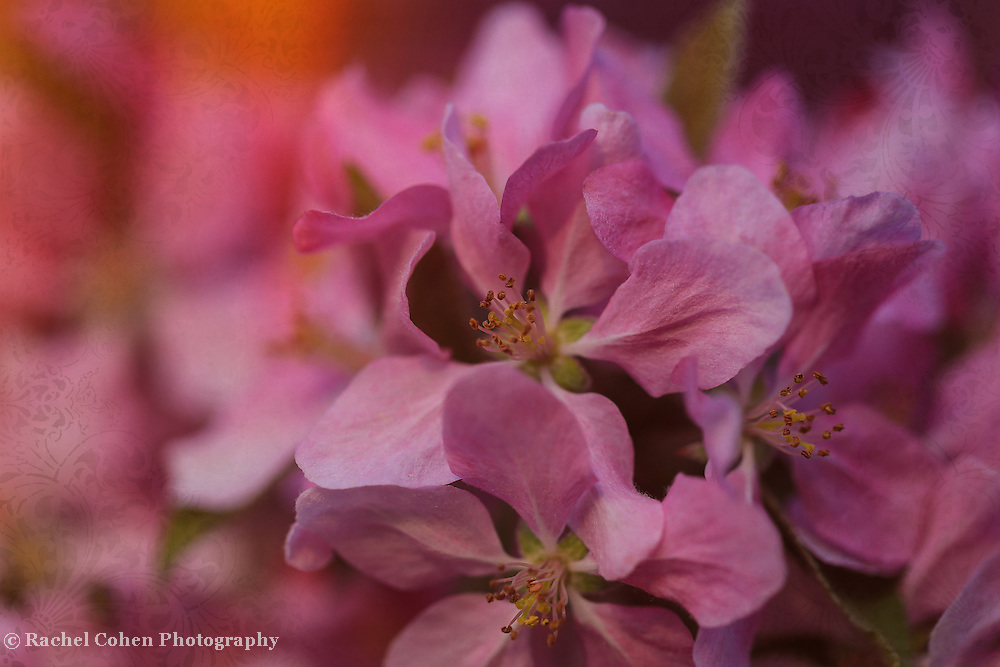 """""""Temptation with Brocade"""" <br /> <br /> Very lovely pink crab-apple blossoms with a delicate brocade."""