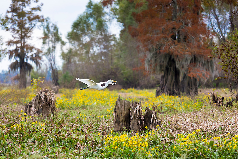 Great Egret bird flying by bald cypress trees and daisies in Atchafalaya Swamp National Wildlife Reserve, Louisiana USA