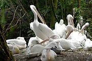 Avifauna, Europa's grootse vogelpark. / Avifauna - the largest bird sanctuary in Europe Op de foto / On the photo :Europese Pelikaan ( Pelecanus onocrotalus) / European Pelican