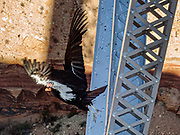 One of the world's rarest birds, a California condor takes flight from the Historic 1929 Navajo Bridge, US Highway 89A, in Grand Canyon National Park, Arizona, USA. As of 2021, the world total of California condors is around 500, more than half of which are in the wild. Although still endangered and facing ongoing challenges such as lead poisoning, they've come a long way since numbering just 22 in 1982. The original Navajo Bridge was built in 1929. The adjacent new bridge was completed in 1995. Highway 89A crosses the Colorado River here at River Mile 4.5 (measured downstream of Lees Ferry) in Grand Canyon National Park.