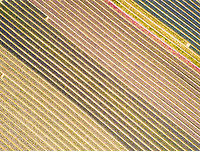 Aerial view of amazing flower fields in Lisse, Netherlands