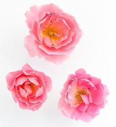 Rosa 'Surrey'