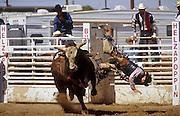 11 MAY 2002 - BUCKEYE, ARIZONA, USA: Bull riding at the Arizona West PRCA Rodeo in Buckeye, AZ, May 11, 2002. It was the first year for the Arizona West PRCA Rodeo..PHOTO BY JACK KURTZ