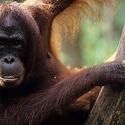 Orangutan, (Pongo pygmaeus) Portrait of female in rain forest. Northern Borneo. Malaysia. Controlled Conditons.