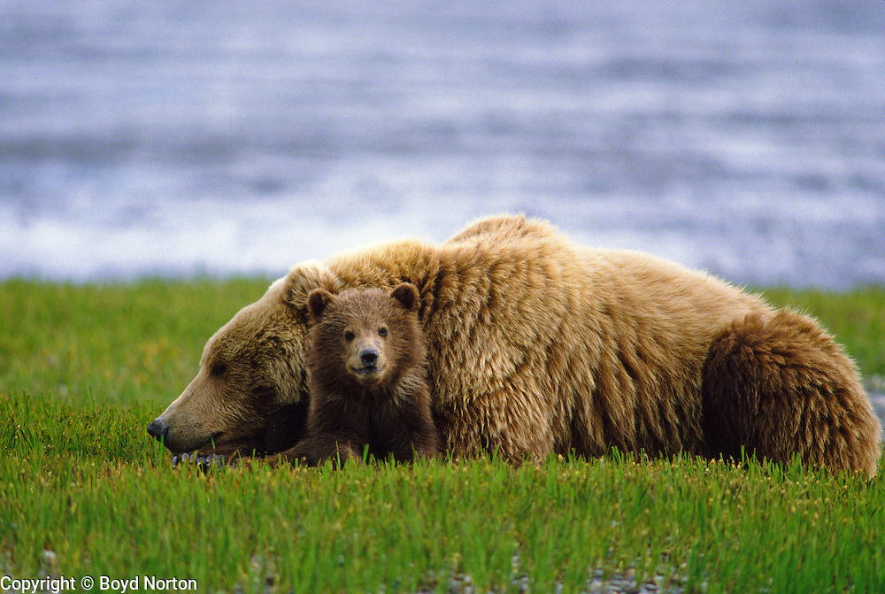 Grizzly bear (brown bear) with cub ~6 months old, McNeil River State Game Sanctuary, Kamishak Bay, Alaska. With cub. Endangered species. Climate change affecting migration of salmon, primary food source for these bears.
