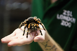 London, UK. 2nd January, 2020. A keeper displays Kate, a Mexican red-kneed spider, during the annual stocktake at ZSL London Zoo. Every mammal, bird, reptile, fish and invertebrate is counted - a total of more than 500 different species - as part of an almost week-long audit required by the Zoo's licence, with the information recorded then shared with other zoos via the Species360 database.