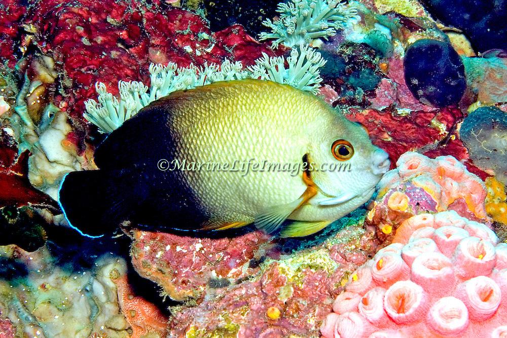 Pearl Scaled Angelfish inhabit reefs. Picture taken Puerto Galera, Philippines