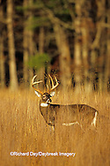 01982-039.14  White-tailed Deer (Odocoileus virginianus) 8 - point buck in field  Great Smoky Mountains National Park  TN