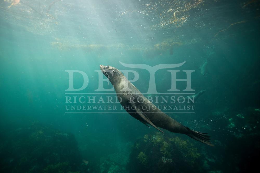 Arctocephalus forsteri (New Zealand Fur Seal) at the subantarctic Antipodes Islands, New Zealand.<br /> Tuesday 11 March 2014<br /> Photograph Richard Robinson © 2014