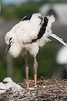 White Stork (Ciconia Ciconia) chick deficating around Prypiat area, Turov, Belarus