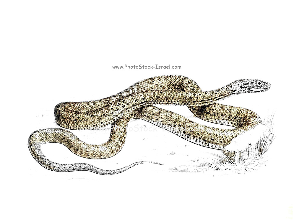 Malpolon monspessulanus [Here as Coelopeltis lacertina], commonly known as the Montpellier snake, is a species of mildly venomous rear-fanged colubrids. From the survey of western Palestine. The fauna and flora of Palestine by Tristram, H. B. (Henry Baker), 1822-1906 Published by The Committee of the Palestine Exploration Fund, London, 1884