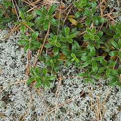 Bearberry (Arctostaphylos uva-ursi) and reindeer lichen in the pitch pine forest at the North of Highland Campground near Cape Cod National Seashore in Truro, Massachusetts.