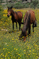 Garrano horses, Faia Brava reserve, Côa valley,<br /> Portugal