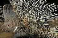 """Crested Porcupine (Hystrix cristata), Distribution Africa. is a species of rodent. Lives on the ground and digging underground tunnels. Porcupine quills, the longest of all mammals. These are transformed hairs. In the porcupines coat will be find a variety of hair styles: soft wool hairs, stiffer hairs, flat bristles and thick, very flexible, long bristles and stark, long round quills. There are also some sturdier quills which are about 40 cm in length and 7 mm in diameter. The quills are sharp and can cause inflammations. In defense, when disturbed they raise and fan their quills to make themselves look bigger. Krefeld, North Rhine-Westphalia, Germany.This picture is part of the series """"Creature's Coiffure""""..Stachelschwein (Hystrix cristata), Verbreitungsgebiet Afrika. Gehoert zu den Nagetieren. Lebt am Boden und graebt unterirdische Gaenge. Stachelschweine haben die laengsten Stacheln aller Saeugetiere. Es handelt sich dabei eigentlich um umgewandelte Haare. Im Kleid der Stachelschweine findet man die verschiedensten Haararten: weiche Wollhaare, steifere Haare, flache Borsten, dicke, sehr elastische, lange Borsten und starre, lange runde Spiesse. Einzelne Spiesse können bis zu 40 cm lang werden und einen Durchmesser von 7 mm haben. Die Stacheln sind scharf und koennen Entzuendungen verursachen. Bei Gefahr und Selbstverteidigung stellt es die Stacheln auf, die dann zur Waffe werden. Krefeld, Nordrhein-Westfalen, Deutschland.Dieses Bild ist Teil der Serie ,,Die Frisur der Kreatur"""""""