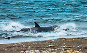"""STUNNING IMAGES CAPTURE ORCAS AS THEY DRIVE UP ON TO BEACH TO HUNT FOR SEA LION'S<br /> <br />  The hunts were taken at Valdés peninsula, Punta Norte. There are some beaches at Valdés, where very few orca whales are adapted to """"voluntary beaching"""" to get close enough to young sea lions, which play in the shallows. This is a dangerous undertaking for the whales, too. If they can't get back to deeper water they might die. Two incidents of a whale being saved by people occurred here. They spilled water over them while they were stuck, not to have them drying out. Next hightide freed them. At any given time there were less than 10 individuals capable of performing this art of hunting! Presently, this number might be a little higher. Voluntary beaching was recorded first in the seventies last century in that area. It is most probably the only area, where whales learned this technique. There are only few scattered records of this behavior from one place in the Indian Ocean, but that is not scientifically confirmed. So this is a very rare behavior in whales and it is a good example of the intelligent way these animals react to their environment.<br /> <br /> PHOTO SHOWS:  It might be one of the less experienced individuals – they fear the shallow water and have to struggle to free themselves in time. So this one lets go the prey and fights to get back to the open water.    <br /> ©Reinhard Radke Nature Photography/Exclusivpeix Media"""