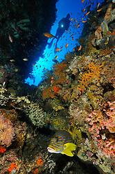Plectorhinchus polytaenia, Taucher an buntem Korallenriff mit Goldband Suesslippe, scuba diver at colorful coral reef with Ribboned sweetlip, Jemeluk, Cemeluk, Amed, Bali, Indonesien, Indopazifik, Bali, Indonesia Asien, Indo-Pacific Ocean, Asia