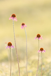 Backlit Black Samson or narrow-leaf coneflowers (Echinacea angustifolia DC.) in Blackland Prairie at Clymer Meadow Preserve, Texas Nature Conservancy, Greenville, Texas, USA.