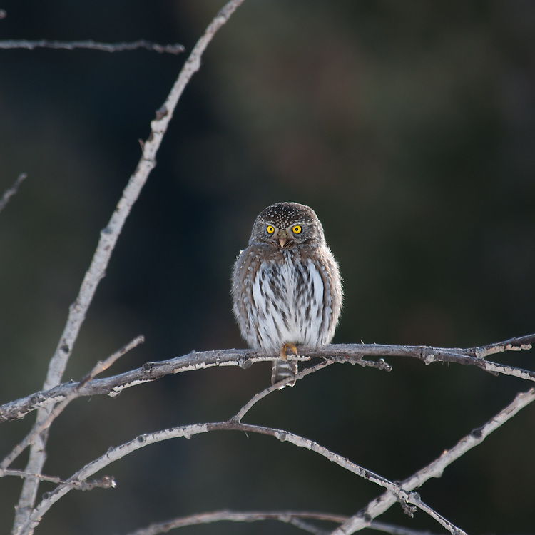 A Northern Pygmy Owl (Glaucidium gnoma) during winter in the Okanogan Highlands, Washington