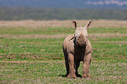 A young white rhinoceros calf (Ceratotherium simum) standing in an open field, The Aberdares, Kenya,Africa