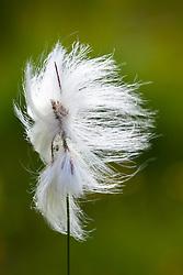 Bog Cotton, Common Cotton Grass. Eriophorum angustifolium