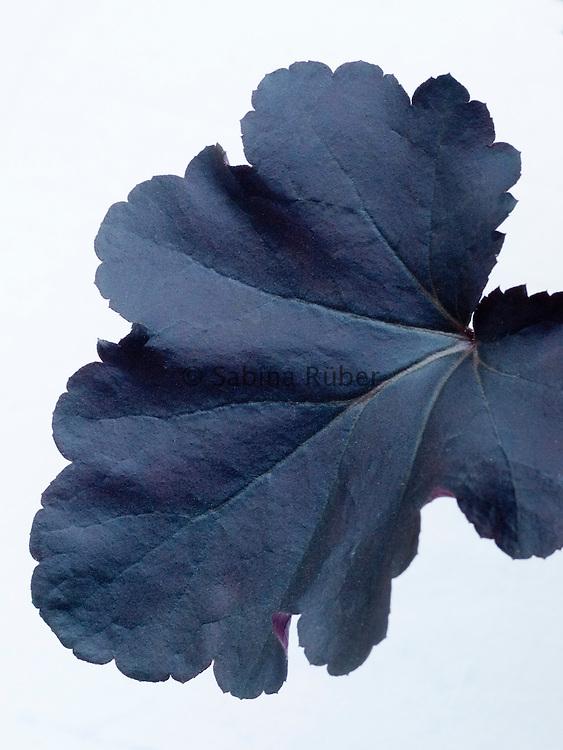 Heuchera 'Obsidian' - alum root