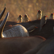 Red-billed oxpeckers congregate on the back of a Cape Buffalo, Timbavati Game Reserve, South Africa.