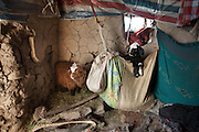 Young or sick goats and lambs are kept indoors in cloth bags, in winter while the herds goes out in the Pamir..Sher Ali home. At the Andemin camp...Trekking through the high altitude plateau of the Little Pamir mountains, where the Afghan Kyrgyz community live all year, on the borders of China, Tajikistan and Pakistan.