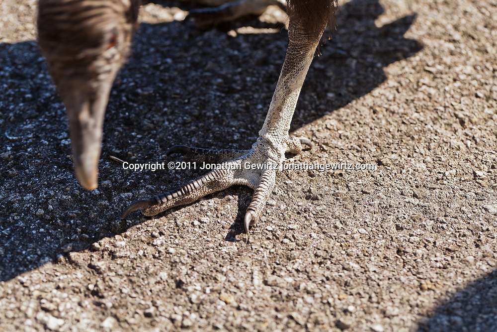 Detail of the leg, foot and claws of a black vulture in Everglades National Park, Florida. WATERMARKS WILL NOT APPEAR ON PRINTS OR LICENSED IMAGES.