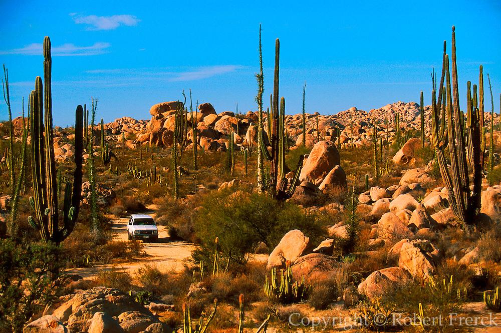 MEXICO, BAJA CALIFORNIA Central Desert, Cardon cactus