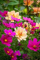 Dahlia 'Apricot Desire' with Cosmos bipinnatus