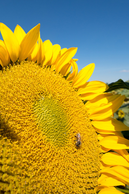 Bee pollinating a sunflower in Eastern Oregon's Grande Ronde Valley.