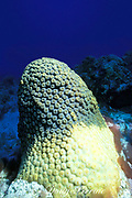 large star coral, Montastrea cavernosa,<br /> bleached by sand scouring during Hurricane Gilbert,<br /> Cozumel, Mexico ( Caribbean Sea )