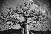 A baobab tree (Adansonia) at night beneath the milky way star constellation in north-western Namibia in the Kunene Region, Namibia, Africa