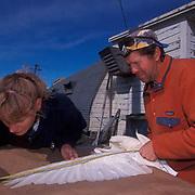 Snowy Owl, (Nyctea scandiaca) Linda Schueck measureing owl for satellite transmitter. Barrow, Alaska.