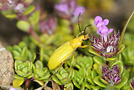 Ctenopius sulphureus