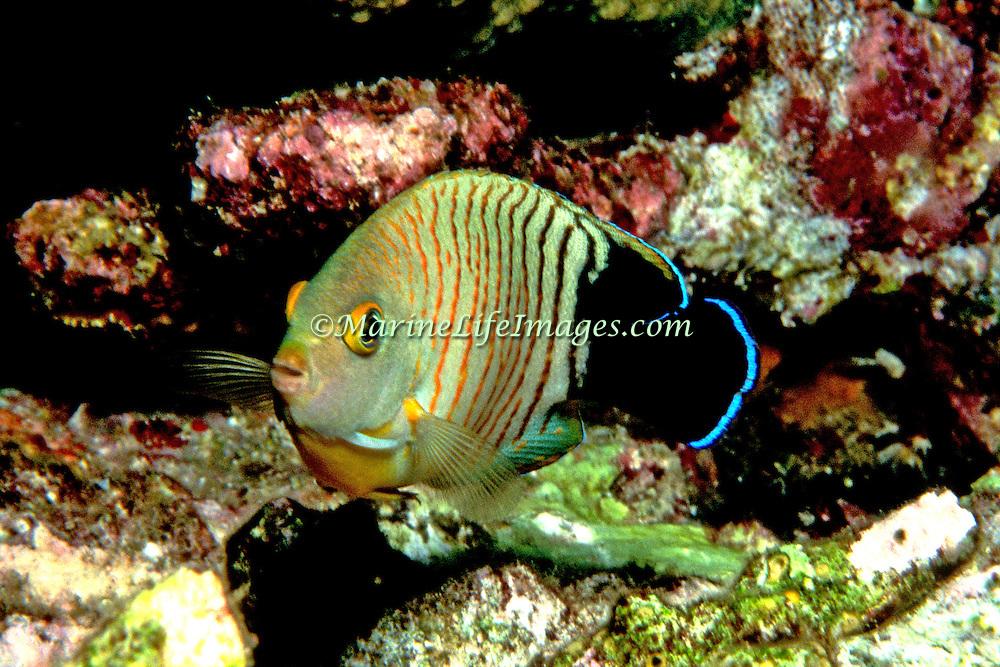 Blacktail Angelfish inhabit reefs. Picture taken Indonesia.