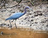 Little Blue Heron (Egretta caerulea). Caroni Bird Sanctuary, Caroni Swamp, Trinidad, Image taken with a Nikon D3s camera and 70-300 mm VR lens.