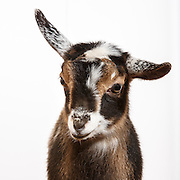 20140323  Baby Goats
