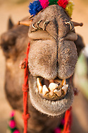 Close up portrait of a smiling toothy camel, Pushkar, India.