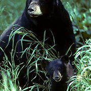 Black Bear (Ursus americanus).  A  portrait of a sow with a spring cub sitting in tall grass during the summer.