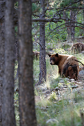 Black bear sow and cubs in forest, Vermejo Park Ranch, New Mexico, USA.