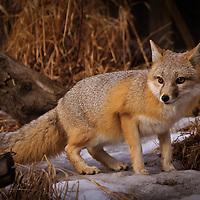 Animals - Swift Fox