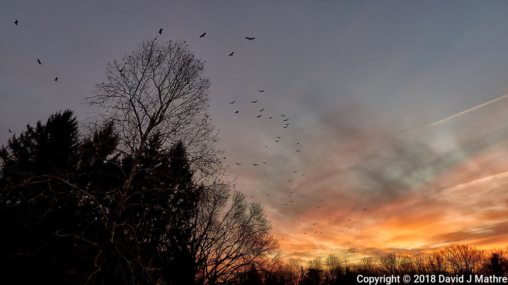 Turkey Vultures Swarming at Dawn. Image taken with a Leica TL camera and 11-23 mm lens (ISO 800, 11 mm, f/6.3, 1/250 sec). Raw images processed with Capture One Pro.