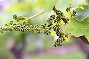 Grape buds. Clos de l'Echo. Cabernet Franc. Domaine Couly Dutheil, Chinon, Loire, France
