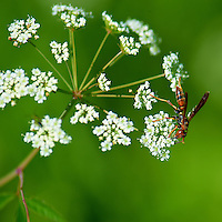 Flying Ant in a Queen Anne's Lace Flower at the Sourland Mountain Reserve.  Image taken with a Nikon D3s and 105 mm  f/2.8 macro lens + TC-E III 20 teleconverter (ISO 200, 205 mm, f/6, 1/500 sec). Raw image processed with Capture One Pro, Focus Magic, and Photoshop CS5.