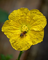 Honey bee on a yellow Lufa Sponge gourd flower. Backyard urban garden in St. Petersburg. Image taken with a Fuji X-T2 camera and 100-400 mm OIS lens (ISO 200, 400 mm, f/5.6, 1/600 sec).