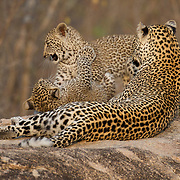 A mother leopard plays with her young cub. South Africa