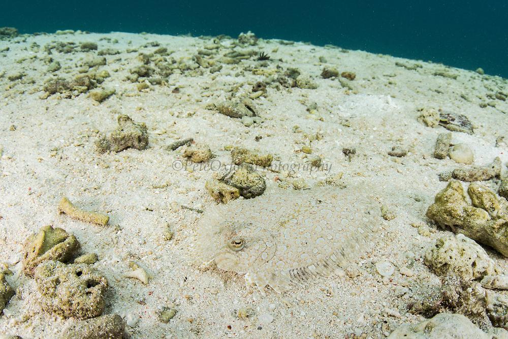 Leopard Flounder (Bothus pantherinus)<br /> Raja Ampat<br /> West Papua<br /> Indonesia