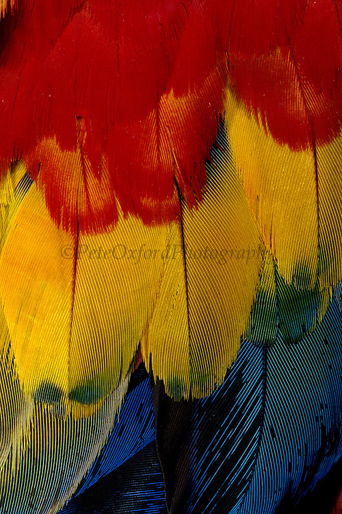 Scarlet Macaw Feathers<br /> Ara macao macao<br /> Urubamba, Amazon Rain Forest, PERU  South America<br /> Range: S. Mexico to Bolivia